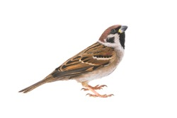 sparrow isolated on a white background