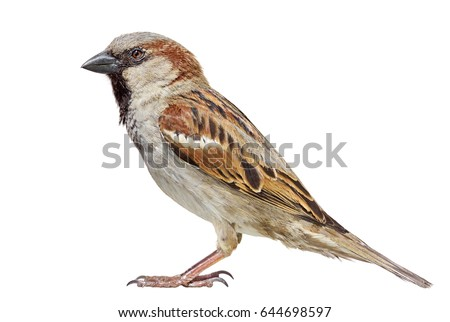 Sparrow isolated on white. - Shutterstock ID 644698597