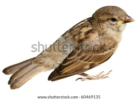 Sparrow isolated on white background