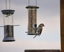 sparrow keeping a look out whilst perched on a seed feeder