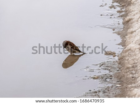 Sparrow looks at his reflection in a puddle. Stock foto ©