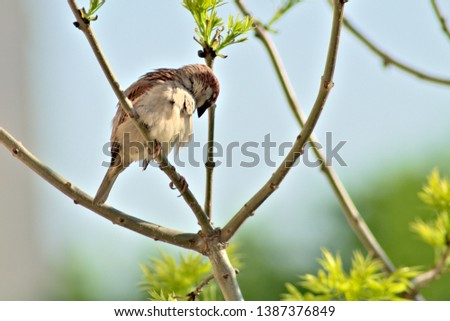 Sparrow on a branch cleaning its feathers, blue-green background #1387376849