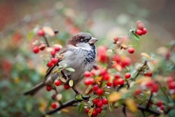 sparrow on a branch with red berries