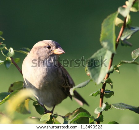 Sparrow on a green branch