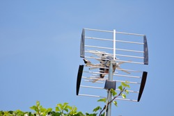 Sparrow on a television antenna.