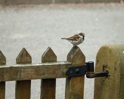 Sparrow on a wooden garden gate