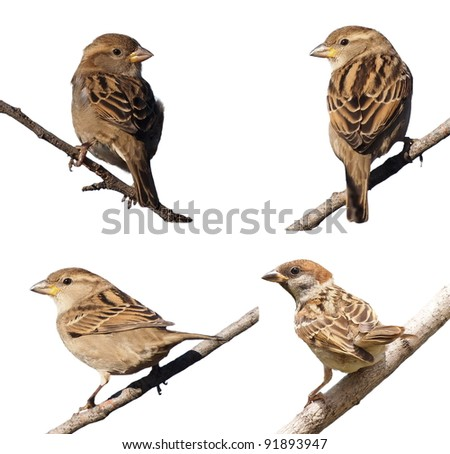Sparrow on branch,  isolated on white background. Tree Sparrow and House Sparrow, (Passer domesticus, Passer montanus) - stock photo