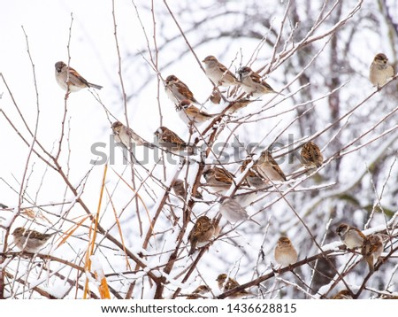 Sparrow on branches of bushes. Winter weekdays for sparrows. Common sparrow on the branches of currants. #1436628815