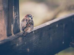 Sparrow on soft background - vintage