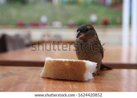 Sparrow on table looking at a slice of bread Stok fotoğraf ©