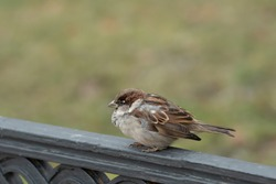 sparrow on the fence, urban bird
