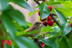 Sparrow on the tree in summer time, small birds outside. Little bird on the Cherry Tree. Bird eating fruit. Sparrow feeding with Cherry.