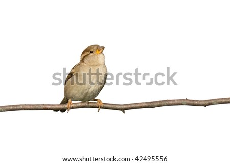 sparrow perched on a branch prepared to fly; white background