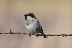 Sparrow perched on barb wire in field.