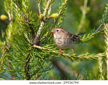 Sparrow sitting in a Pine tree during Spring