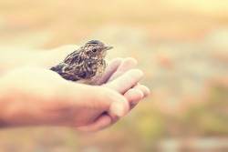 sparrow sitting in human`s hand, outdoors, toned photo