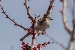 Sparrow sitting on a flowering apricot branch