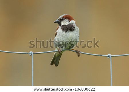 Sparrow sitting on a metal fence (Holland) - stock photo
