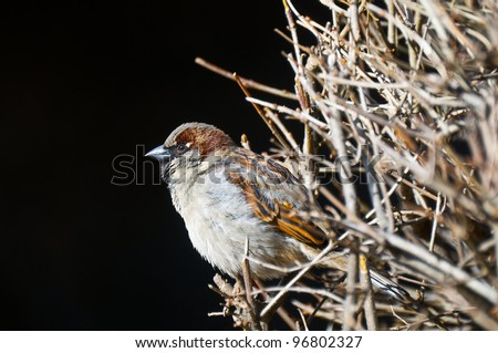 Sparrow sitting on twig in its habitat
