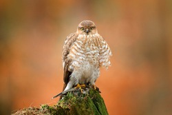 Sparrowhawk, Accipiter nisus, sitting green tree trunk in the forest with caught little songbird. Wildlife animal scene from nature. Eurasian Bird in the winter forest habitat. Hawk with kill.