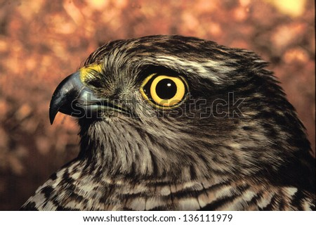 sparrowhawk animals birds with wings wild birds abnormal world