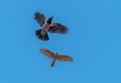 Sparrowhawk Chasing a Black Headed Crow in a Clear Blue Sky