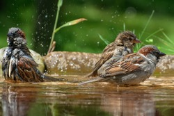 Sparrows bathe in the water of a bird watering hole. Czechia. Europe.