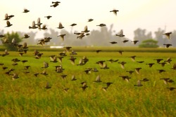 Sparrows flying in the rice fields