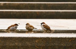Sparrows in a puddle. Small, brown birds wash and drink water from a puddle after a rain. Closeup.