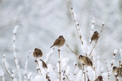 Sparrows on a snow-covered branch bask in winter. Cold snowy winter. Birds in winter.