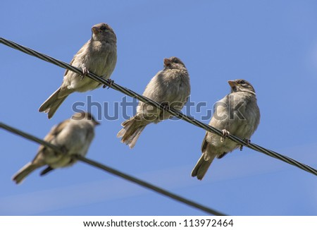 sparrows on wires