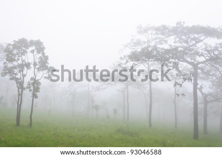 Sparse forest in the national park with the fog.