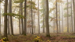 Sparse forest of oaks. No undergrowth. Trees and branches in the autumn fog. Dark silhouettes in the white November light. Wild forest of France. Colorful : golden, green, red. Mysterious morning.