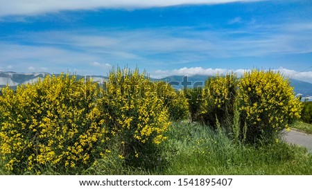 Spartium shrubs having yellow blooms on big shrubs in spring. Yellow flowered weaver's broom shrubs, growing in a garden bed, contrasting with the blue sky with light clouds. #1541895407