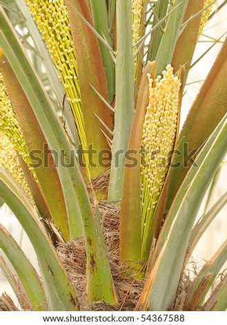 date palm tree in desert. in a date palm tree at