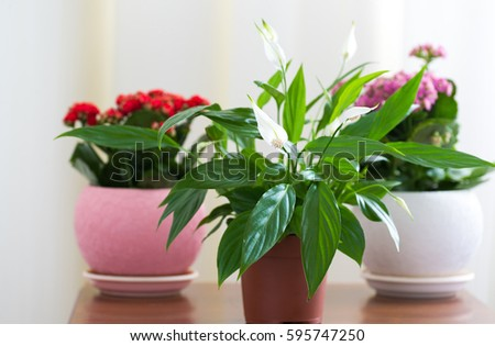 Spathiphyllum and Red and pink Kalanchoe in the interior