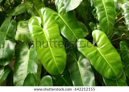 Spathiphyllum cannifolium #642212155