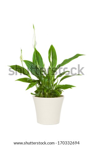 Spathiphyllum flower plant isolated on white. The spathiphyllum is a useful plant that detoxifies the environment from dangerous chemicals - Shutterstock ID 170332694