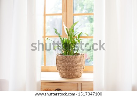 Spathiphyllum home plant in straw pot stands on a windowsill. Home plants on the windowsill. concept of home gardening. Spathiphyllum in flowerpot on windowsill at home. Scandinavian. space for text