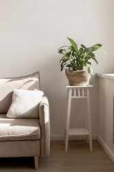 Spathiphyllum houseplant in decorative pot. Eco flower pot on white table near the window and sofa. White wall background with sunlight shadows. Empty copy space.