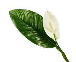 Spathiphyllum or Peace lily flower and leaf, Fresh white flower with green foliage isolated on white background, with clipping path