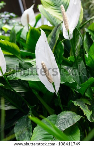 spathiphyllum with leaves background in the orangery