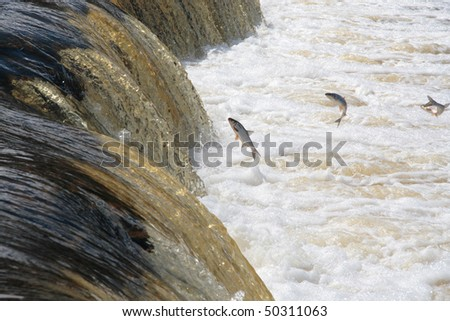 Spawning fish on the mountain river