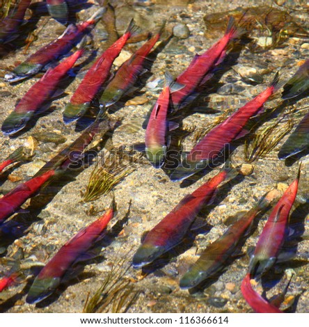Spawning Kokanee Salmon