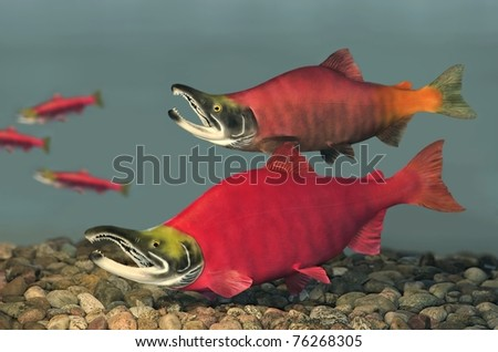 Spawning male Sockeye Salmon (Oncorhynchus nerka).