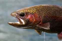 Spawning Rainbow Trout