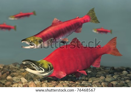 Spawning Sockeye Salmon pair (Oncorhynchus nerka). - stock photo