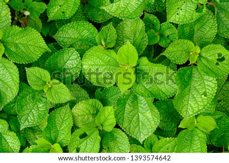 Spearmint, also known as garden mint, common mint, lamb mint and mackerel mint #1393574642