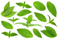 Spearmint herb leaf closeup isolated on white background