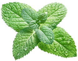 Spearmint or mint leaves with water drops on white background. Top view.